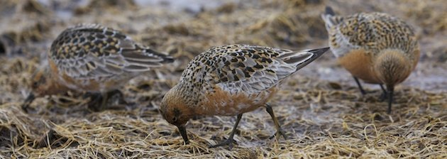Red Knots, Calidris canutus, feeding