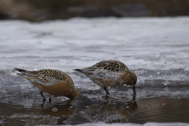 Red Knots, Calidris canutus