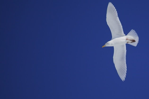 Glaucous Gull in flight