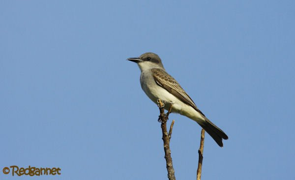 MIA 03May16 Eastern Kingbird 01