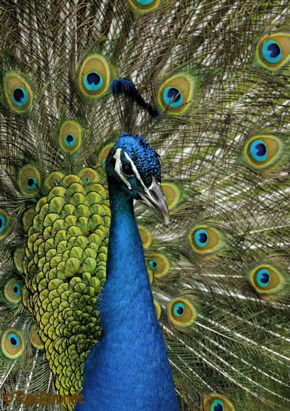 MIA 20Apr16 Common Peafowl 17