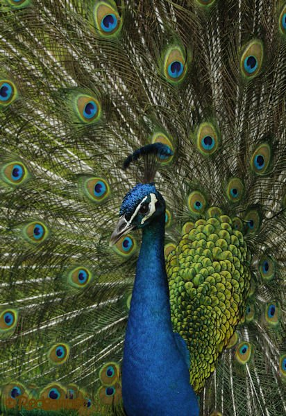 MIA 20Apr16 Common Peafowl 20
