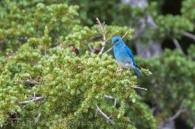 Mountain Bluebird Male at Lassen Volcanic National Park
