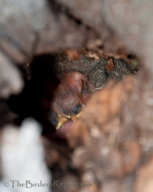 Mountain Chickadee Nestlings