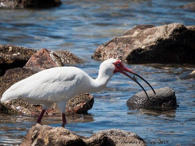 Magote birds-32