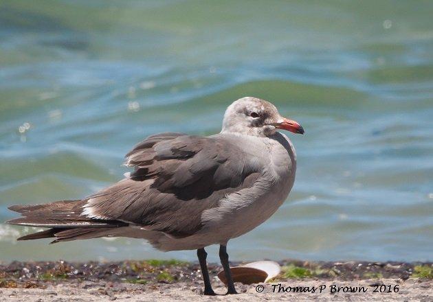 Magote birds