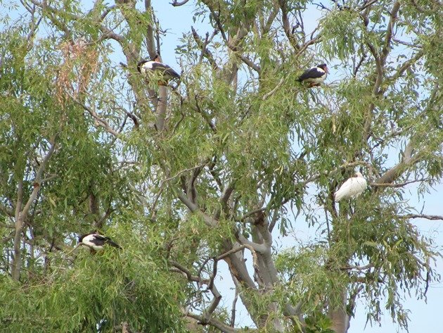 Magpie Geese and Royal Spoonbill