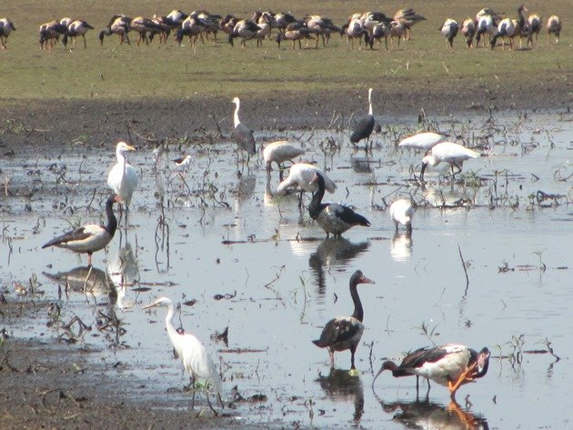 Magpie Geese, herons & egrets