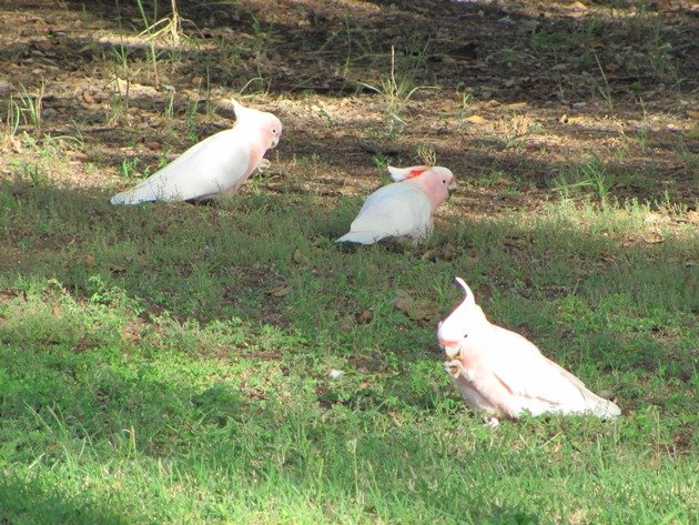 Major Mitchell's Cockatoos (2)