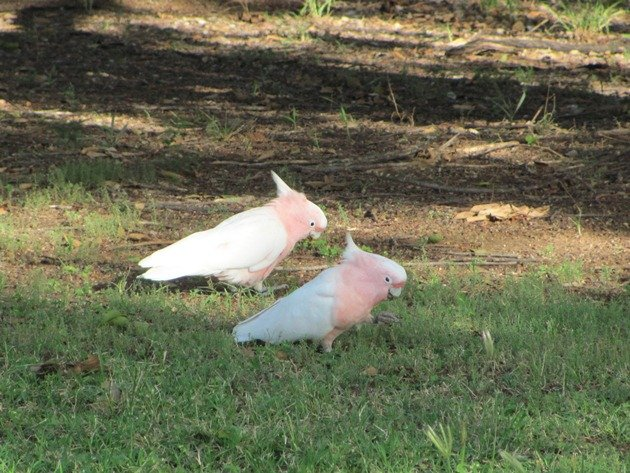 Major Mitchell's Cockatoos (3)