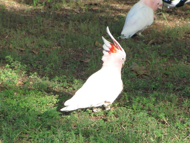 Major Mitchell's Cockatoos (4)