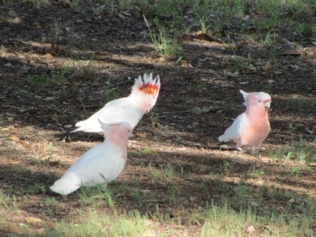 Major Mitchell's Cockatoos (6)