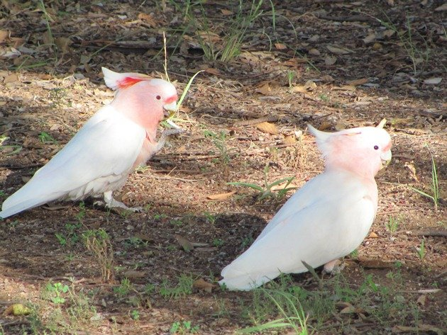 Major Mitchell's Cockatoos (7)