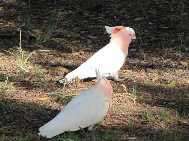 Major Mitchell's Cockatoos (8)