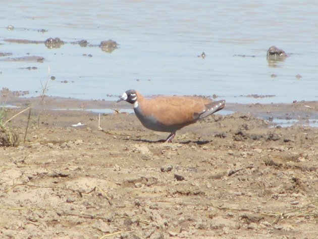 Male Flock Bronzewing (2)