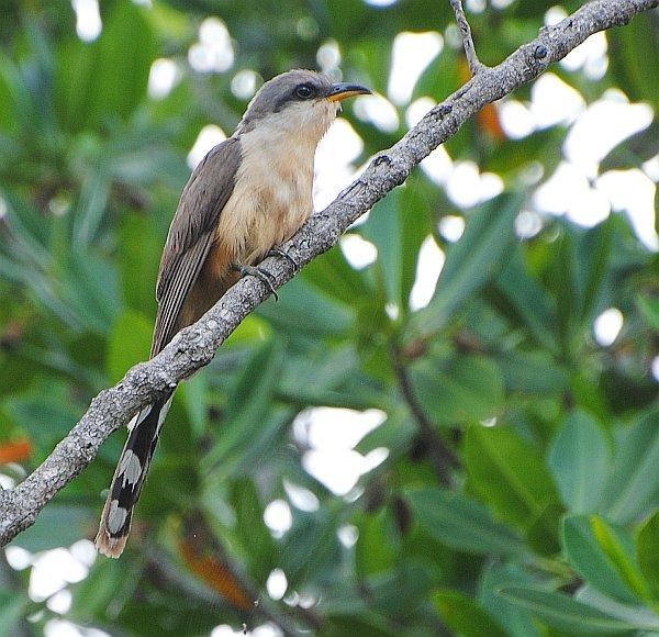 Mangrove Cuckoo 2014 Jun 02