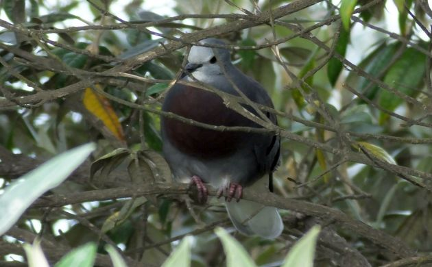 Maroon-chested Ground-Dove 1
