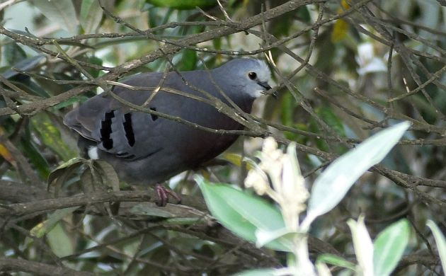 Maroon-chested Ground-Dove side view
