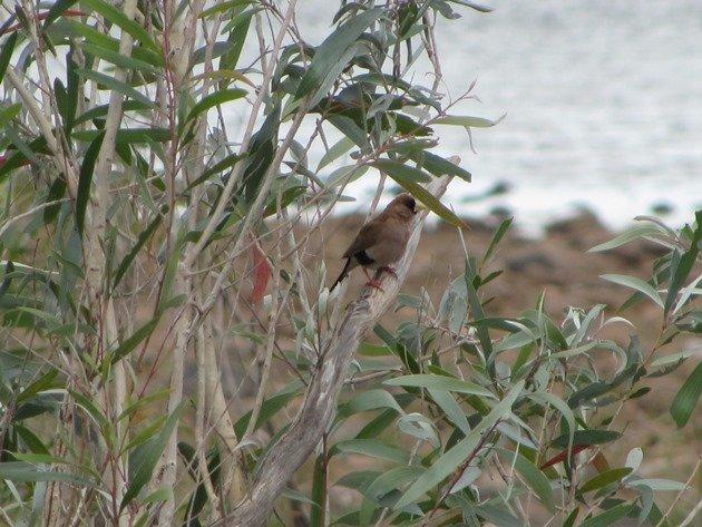 Masked Finch (2)