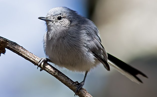 Masked Gnatcatcher Female