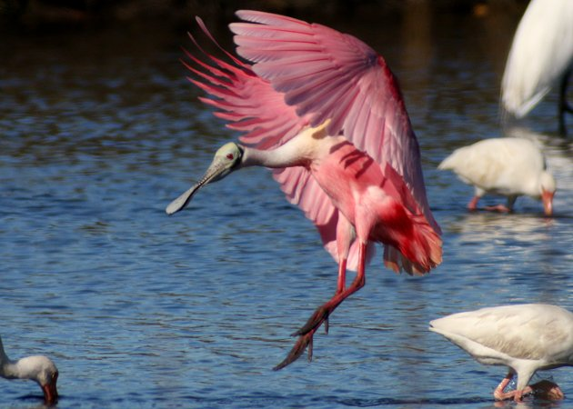 Roseate Spoonbill coming in for a landing