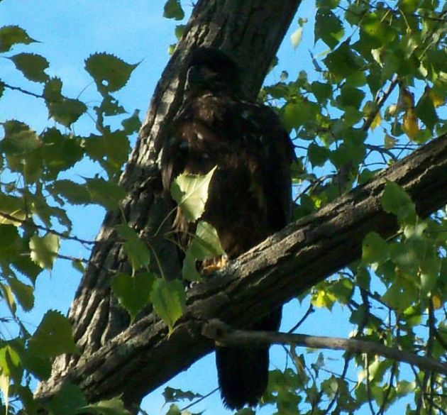 Juvenile Bald Eagle at Lake George by Molly Grattan
