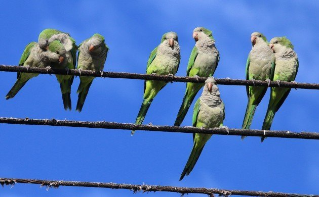 Monk Parakeets on power lines in Howard Beach
