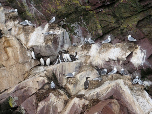 Murres and Kittiwakes