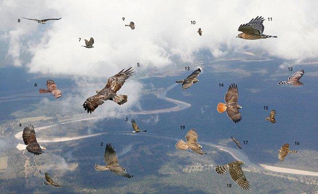 Mystery raptors