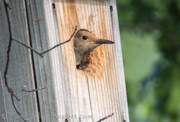 Northern Flicker Female in Nest Box