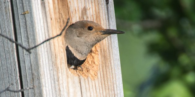 Northern Flickers Have Found My Nest Box