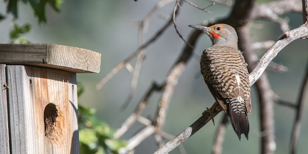 Red-shafted Northern Flickers Feeding Nestlings