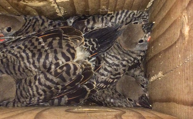 Northern Flicker (Red-shafted) Nestlings
