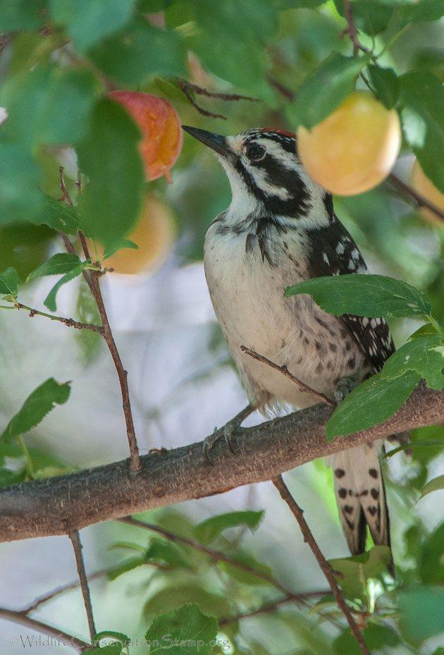Nuttall's Woodpecker Juvenile