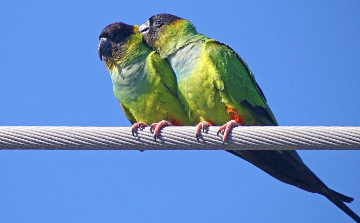 Nanday Parakeets allopreening