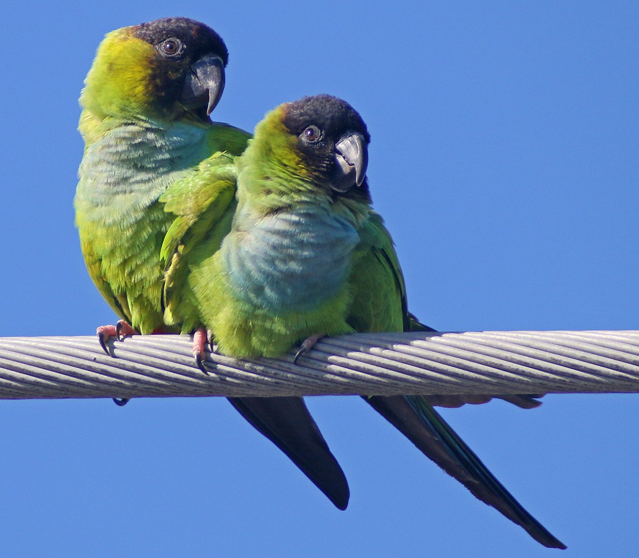 Nanday Parakeets cuddling