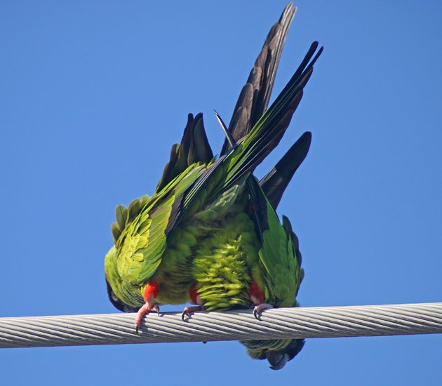 Nanday Parakeets doing the deed