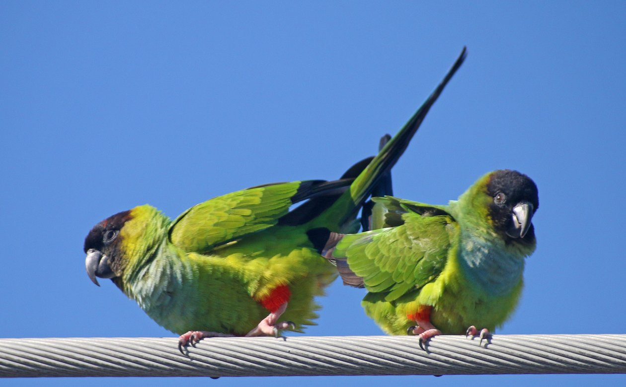 Nanday Parakeets finishing up
