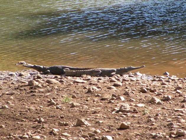 Negri River crocodiles