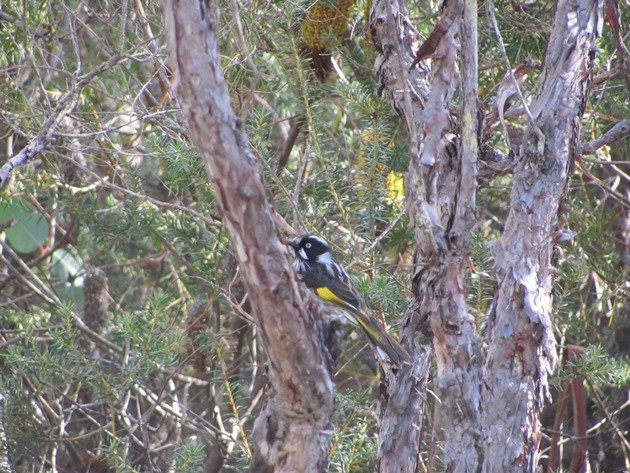 New Hollands Honeyeater