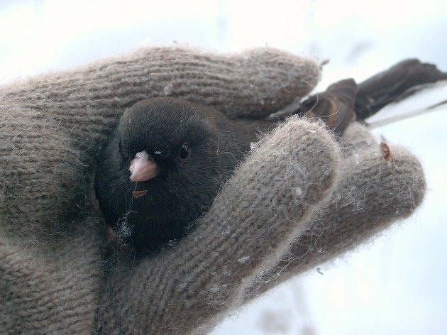 Junco in hand by Maria Stager