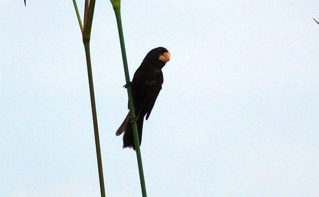 Nicaraguan Seed-Finch