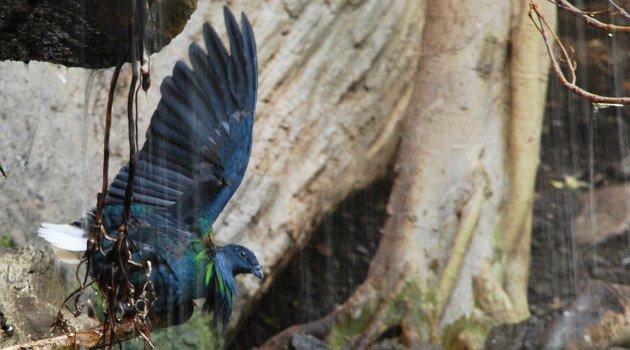 Nicobar Pigeon by David J. Ringer