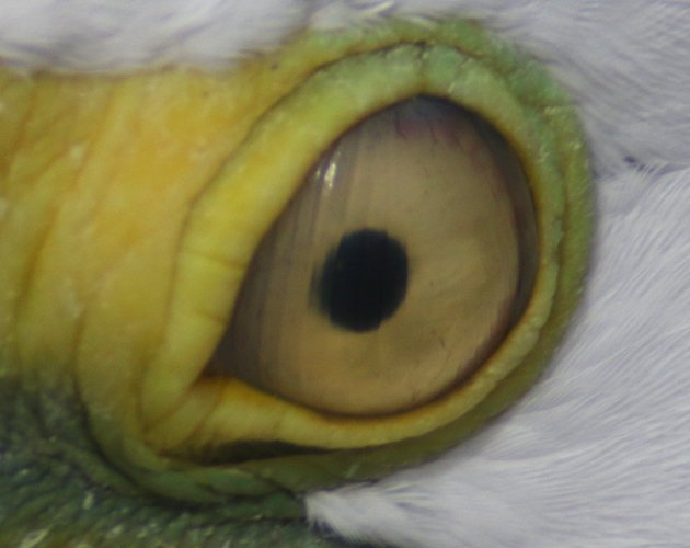 Nictitating membrane closed on Great Egret