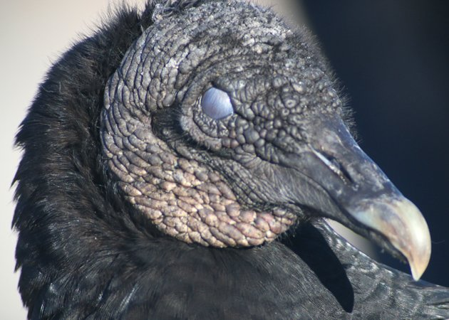 Nictitating membrane on a Black Vulture