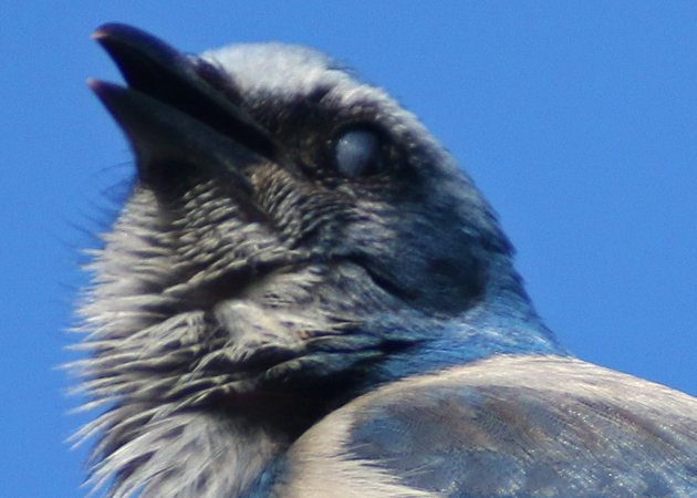 Nictitating membrane on a Florida Scrub-Jay