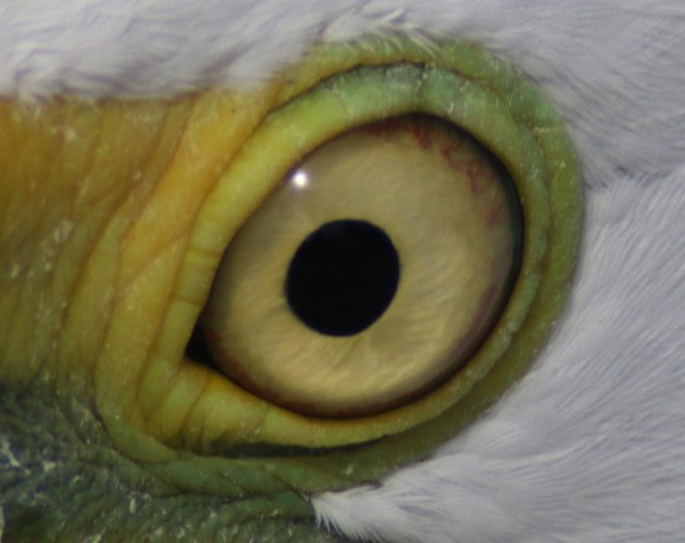 Nictitating membrane open on Great Egret