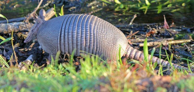 Nine-banded Armadillo by water