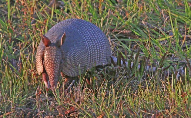 Nine-banded Armadillo head on
