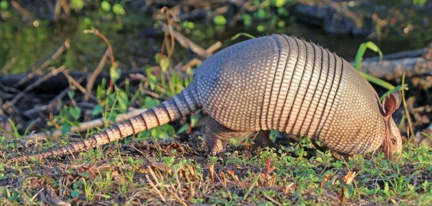 Nine-banded Armadillo in grass